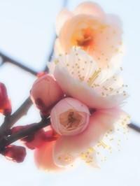 梅、咲きました
