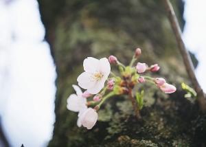桜の開花はまだかな